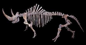 Pleistocenní nosorožci na území dnešního Česka 28/1/2015